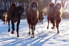 5135a83bbcc85-schnee-kamele
